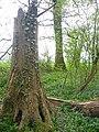 King's Wood near Ampthill - geograph.org.uk - 161427.jpg