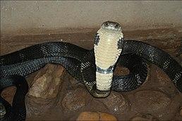 Kobra královská (Ophiophagus hannah)