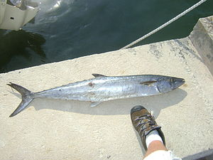 King Mackerel. The fish was a male and weighed...