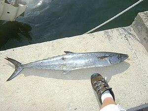 King mackerel - Image: King Mackerel