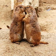 Kissing Black-tailed Prairie Dogs