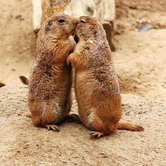 Due cani della prateria (Cynomys ludovicianus) che si baciano