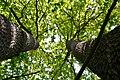 Kivertsi Volynska-Forest area-1 nature monument-quercus double tree-2.jpg