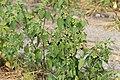 Kluse - Solanum nigrum - Schwarzer Nachtschatten 02 ies.jpg