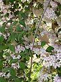 Kolkwitzia amabilis in Jardin des Plantes of Paris 09.jpg