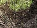 Krasnyy Khutir forest9.jpg