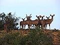 Kudu - panoramio.jpg