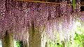 Kurashiki's Japanes-wisteria 倉敷籐下 ❀ 母憶ふ 藤の花房 ながければ (晋) - panoramio.jpg