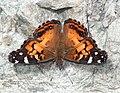 LADY, AMERICAN (Vanessa virginiensis) (9-10-12) california gulch, scc, az -01 (7975037760).jpg