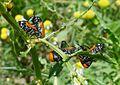 Labidostomis species. Chrysomelidae - Flickr - gailhampshire (1).jpg