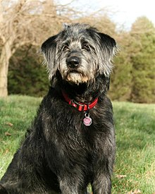 Labradoodle  Wikipedia