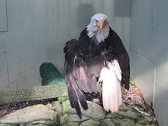 Lady Baltimore (bald eagle) - Lady Baltimore, in her Juneau Raptor Center mew, on August 15, 2015