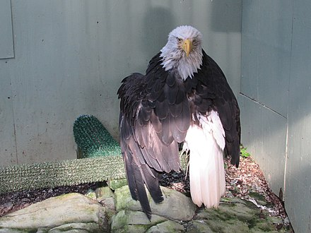 Lady Baltimore, a bald eagle in Alaska who survived a poaching attempt, in her Juneau Raptor Center mew, on August 15, 2015 Lady Baltimore, in her habitat.jpg