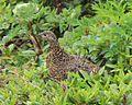 Lagopus muta japonica female in Mount Norikura.JPG
