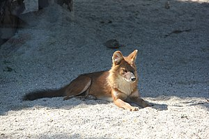 Ussuri dhole - Ussuri dhole at Budapest zoo.