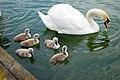 Lake with swans 4; 天鹅,湖.jpg