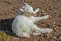 Lamb - Animal Park Muggensturm 01.jpg