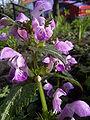 Lamium maculatum top.jpg
