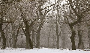 Deciduous - Deciduous forest in winter, Denmark