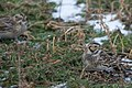 Lapland longspur pair (3158610948).jpg