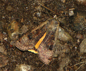 Large yellow underwing - On forest floor of Gatineau Park, Quebec