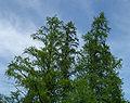 Larix laricina Volo Bog 1.jpg