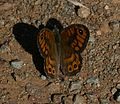 Lasiommata megera (Wall Brown) - Flickr - S. Rae (1).jpg