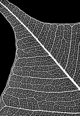 Leaf Skeleton negative (like photogram)