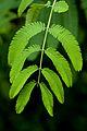 Leaves, Name Unknown... - Flickr - nekonomania (1).jpg