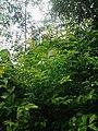 Leaves and trees palavangudi jpg 27.jpg