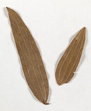 Mary Bryant - Leaves from Botany Bay used as tea 1791