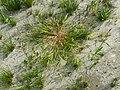 Leersia oryzoides sl34.jpg