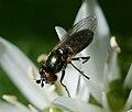 Lejogaster metallina3.jpg