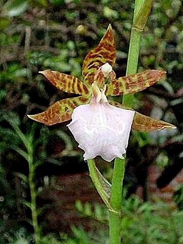 Lemboglossum bictoniense