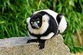 Lemur (26245090259).jpg