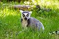 Lemur (39822797510).jpg