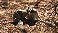 Lemur catta 002.jpg