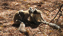 Two adult Ring-tailed Lemurs lick each other's face while a juvenile moves around on its mother's back.