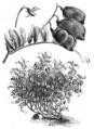 Lentille large blonde Vilmorin-Andrieux 1883.png