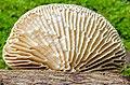 Lenzites betulina (L.) Pilát 843055.jpg