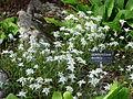 Leontopodium stracheyi-Jardin d'altitude du Haut-Chitelet (2).JPG