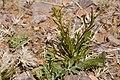 Lepidium virginicum subsp. virginicum - Flickr - aspidoscelis.jpg