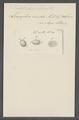 Leucophra viridis - - Print - Iconographia Zoologica - Special Collections University of Amsterdam - UBAINV0274 113 16 0014.tif