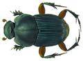 Liatongus femoratus Illiger, 1800 (8311187838).png