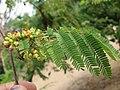 Libidibia coriaria - Divi-divi Tree - Caesalpinia coriaria - WikiSangamotsavam 2018, Kottappuram, Kodungalloor (2).jpg