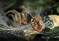 Lieveheersbeestje gevangen in spinnenweb.jpg