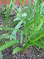 Lilium pumilum (Cotyledons) 1.JPG