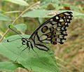 Lime Butterfly. Papilio demoleus. U-S. Papilionidae - Flickr - gailhampshire.jpg