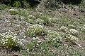Linanthus nuttallii var pubescens 6.jpg