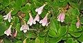 Linnaea borealis americana (twinflowers) (8 July 2015) (Firehole Canyon, Yellowstone, Wyoming, USA) 2 (20703260091).jpg